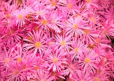 Flowering Plant in Aizoaceae Family: Pink Livingstone Daisies or Buck Bay vygies, Ice Plant or carpet weed, and Ruschieaes Flowers Stock Image