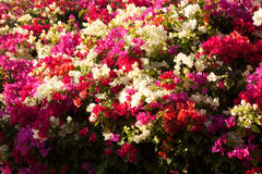 Flowering plant Bougainvillea Royalty Free Stock Photos