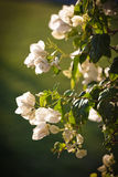 Flowering plant Bougainvillea Royalty Free Stock Photography