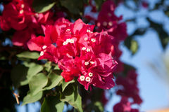 Flowering plant Bougainvillea Royalty Free Stock Image
