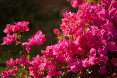 Flowering plant Bougainvillea Royalty Free Stock Photos