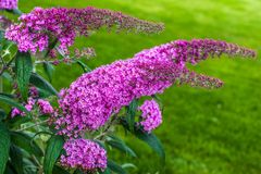 Flowering plant Buddleja Davidii - really Butterfly bush Royalty Free Stock Photo