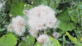 Flowering plant fluff allergic wind  summer stock footage