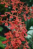 Coral Red Orchid Blooms - Feng Shui Plants stock photography