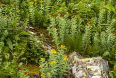 Plant golden root in a natural environment royalty free stock image