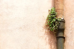 A flowering plant grown in a gutter. A view of a flowering plant grown in a rusty gutter, against a wall, space for text on the left, landscape cut royalty free stock photo