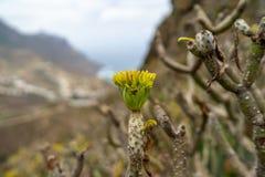 Flowering plant Kleinia neriifolia. stock image