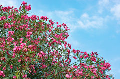 Flowering plant oleander on blue sky Stock Photo