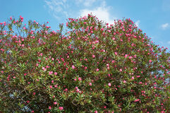Flowering plant oleander on blue sky Stock Photos