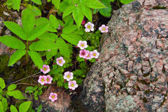 Flowering plant pink saxifrage Royalty Free Stock Photos