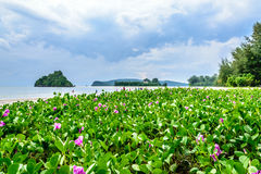 Flowering plant in the shore. Shore of aonang beach krabi  thailand Stock Images