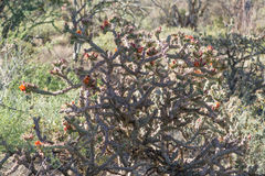Flowering plant Staghorn Cholla (Cylindropuntia versicolor) Royalty Free Stock Photos