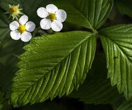 Flowering plant of strawberries on a blurred natural background. Ant on the strawberry leaf. stock photography