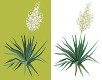 Flowering plant Yucca. Flowering green plant Yucca isolated on white background. Drawn from life royalty free illustration