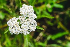Flowering plants Achillea on a green meadow royalty free stock photography
