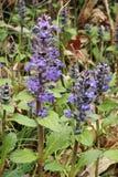 Blue bugle flowers. Flowering plants of blue bugle Royalty Free Stock Image