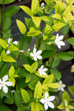 Flowering plants. Colorful, fragrant jasmine Smells and colorful Doctor Stock Photos
