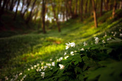 Flowering plants in forest, white flowers on background of trees Stock Photo