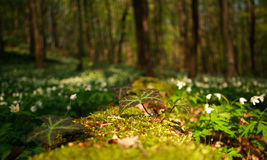 Flowering plants in forest, white flowers on background of trees Royalty Free Stock Photos