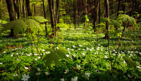 Flowering plants in forest, white flowers on background of trees Stock Photos