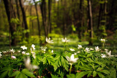 Flowering plants in forest, white flowers on background of trees Royalty Free Stock Photo