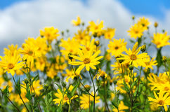 Flowering plants. Flowering Jerusalem artichoke on a background of clouds Royalty Free Stock Photography