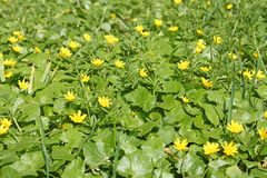 Flowering plants of lesser celandine Royalty Free Stock Photography