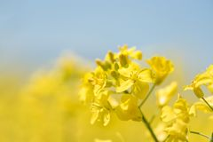 Flowers in the season spring. Yellow field stock photography