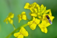 Insect collects nectar from flowers. Flowering plants in the spring.insect collects nectar and pollen from flower petals Stock Photography