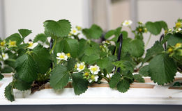 Flowering plants of strawberry Royalty Free Stock Photos