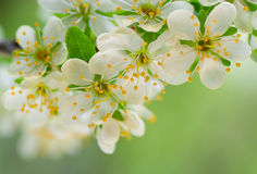 Flowering plum royalty free stock photo