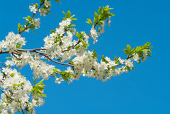 Flowering plum Royalty Free Stock Photography