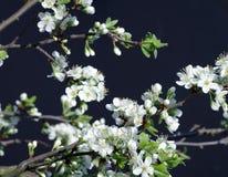 Flowering plum background black Stock Images