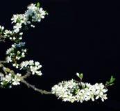 Flowering plum black background Stock Photography