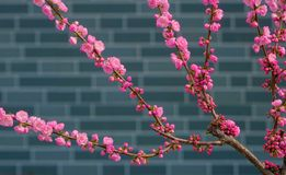 Flowering plum. The flowering plum are blooming in front of the wall stock image