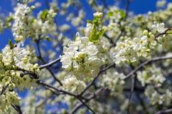 Flowering plum. Royalty Free Stock Image