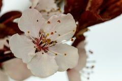 Flowering plum blossom. White flowering plum blossom against a blue background Royalty Free Stock Photo