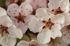 Flowering plum blossoms. Closeup of a cluster of flowering plum blossoms Royalty Free Stock Photography