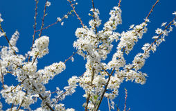 Flowering plum branch against blue background. Flowering white plum branch against blue background almost isolated stock image