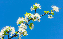Flowering plum branch Royalty Free Stock Photos