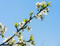 Flowering plum branch Royalty Free Stock Images