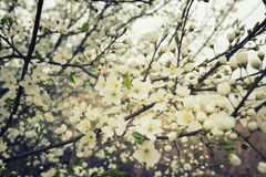 Flowering plum branches Stock Photos