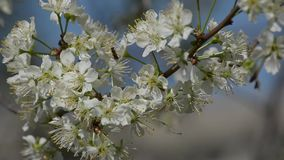 Flowering plum branches sway in the wind stock video footage