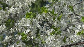 Flowering plum branches sway in the wind stock video
