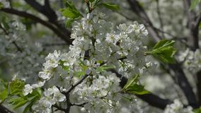 Flowering plum branches sway in the wind. Flowering branches of plum in spring in the garden, swaying in the wind stock video footage