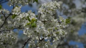 Flowering plum branches sway in the wind stock footage