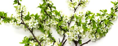 Flowering plum branches on a white background spring flowering of fruit trees. Flowering plum branches on a white background royalty free stock photography