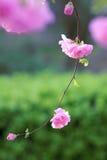 Flowering plum Stock Photo