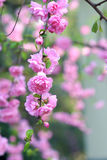 Flowering plum Stock Images