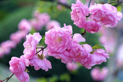 Flowering plum Royalty Free Stock Photos